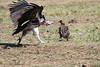 Lappet-faced Vulture Mara