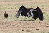 Lappet-faced and Hooded Vulture Mara