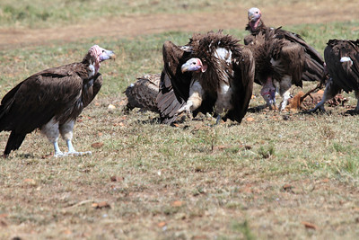 Lappet-faced Vulture Mara