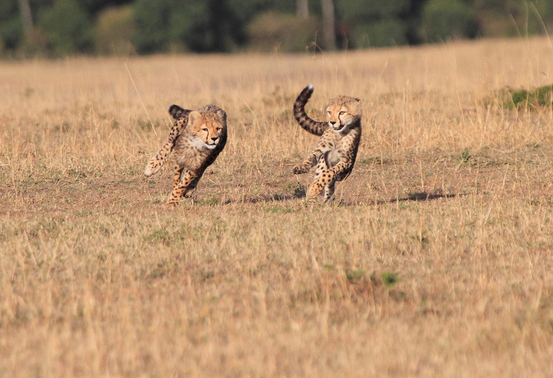 Cheetah Morning Hunt