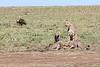 Cheetah with Kill Mara and Vulture