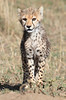 Cheetah Family Mara Cub