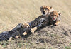 Cheetah Family Mara