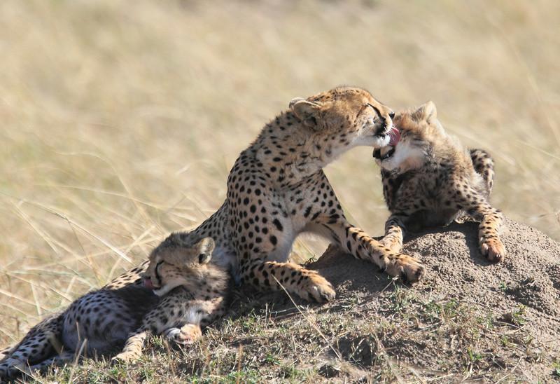 Cheetah Family Mara