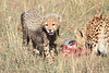 Cheetah with Kill Mara
