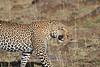 Leopard Mara