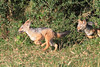 Black Backed Jackal Pups Mara