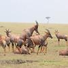 Topi_Mara_Reserve_Asilia_Kenya0010