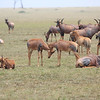 Topi_Mara_Reserve_Asilia_Kenya0020