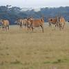 Eland_Mara_Reserve_Asilia_Kenya0003