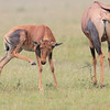 Topi_Mara_Reserve_Asilia_Kenya0065