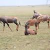 Topi_Mara_Reserve_Asilia_Kenya0009