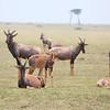 Topi_Mara_Reserve_Asilia_Kenya0008