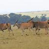 Eland_Mara_Reserve_Asilia_Kenya0001