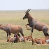 Topi_Mara_Reserve_Asilia_Kenya0007