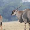 Eland_Mara_Reserve_Asilia_Kenya0011