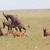 Topi_Mara_Reserve_Asilia_Kenya0002
