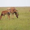 Topi_Mara_Reserve_Asilia_Kenya0001