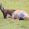Topi_Mara_Reserve_Asilia_Kenya0026