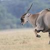 Eland_Mara_Reserve_Asilia_Kenya0009