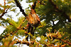 Yellow-Winged_Bat_Topi_House_Asilia_Kenya0005