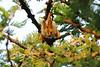 Yellow-Winged_Bat_Topi_House_Asilia_Kenya0001