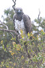 Martial_Eagle_Topi_House_Asilia_Kenya0002
