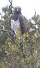 Martial_Eagle_Topi_House_Asilia_Kenya0001