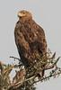 Tawny_Eagle_Topi_House_Asilia_Kenya0001