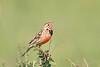 Rosy-Breasted_Longclaw_Topi_House_Asilia_Kenya0003