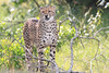 Cheetah_Mara_Asilia_Kenya0072