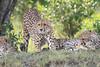 Cheetah_Mara_Asilia_Kenya0073