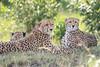 Cheetah_Mara_Asilia_Kenya0081