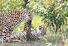 Cheetah_Mara_Asilia_Kenya0077