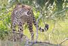 Cheetah_Mara_Asilia_Kenya0066