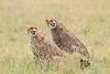 Cheetah_Mara_Asilia_Kenya0082