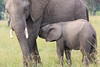 Elephant_Mara_North_Asilia_Kenya0018