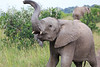 Elephant_Mara_North_Asilia_Kenya0014