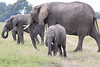 Elephant_Mara_North_Asilia_Kenya0019