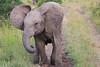 Elephant_Mara_North_Asilia_Kenya0012