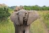 Elephant_Mara_North_Asilia_Kenya0009