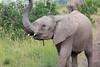 Elephant_Mara_North_Asilia_Kenya0013