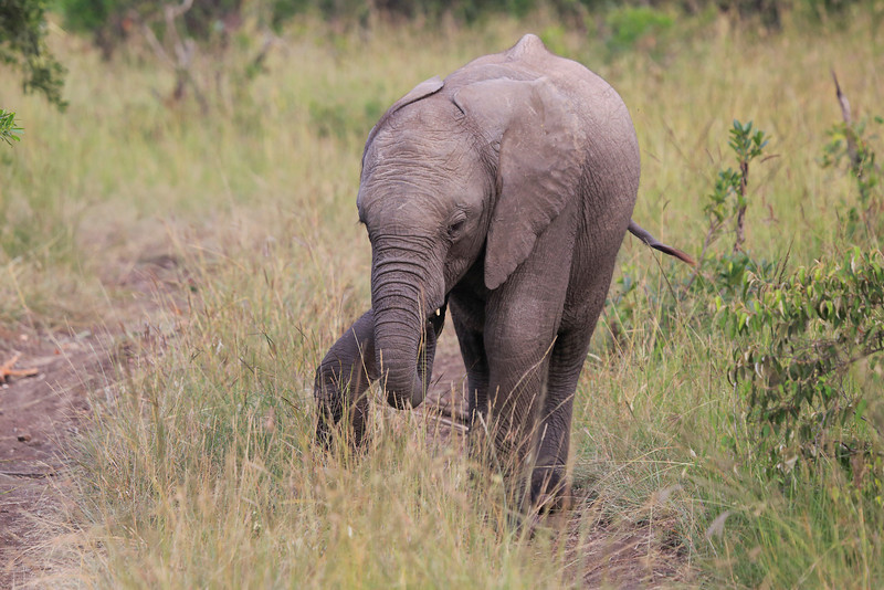 Elephant_Mara_North_Asilia_Kenya0001