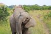Elephant_Mara_North_Asilia_Kenya0010