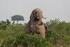 Elephant_Mara_North_Asilia_Kenya0016