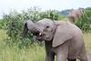 Elephant_Mara_North_Asilia_Kenya0015