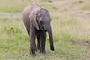Elephant_Mara_North_Asilia_Kenya0020