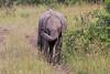 Elephant_Mara_North_Asilia_Kenya0002