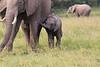 Elephant_Mara_North_Asilia_Kenya0017