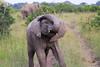Elephant_Mara_North_Asilia_Kenya0007